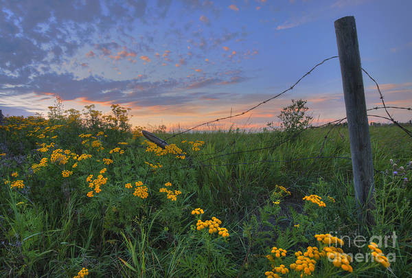 Barb Photograph - Barbed Wire And Common Tansy by Dan Jurak