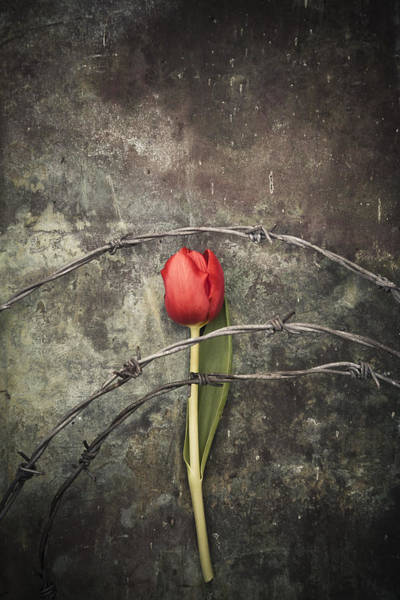Photograph - Barbed Wire With Tulip by Maria Heyens