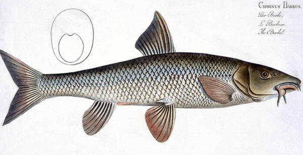 Angler Wall Art - Painting - Barbel by Andreas Ludwig Kruger