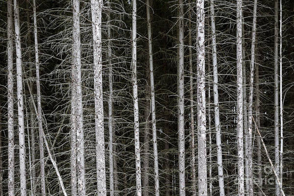 Photograph - Bare Branches And Trunks Of Pine Trees Make Patterns Beneath The Forest Canopy In Western Maryland by William Kuta