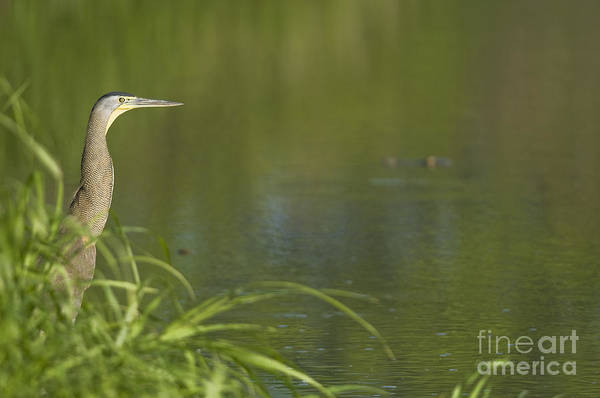 Photograph - Bare-throated Tiger Heron by Dan Suzio