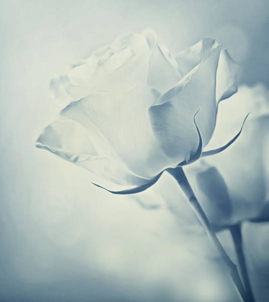 Floristry Photograph - Barely There Rose by Georgiana Romanovna