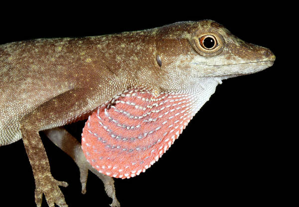 Green Anole Photograph - Bark Anole Displaying Dewlap by Dr Morley Read