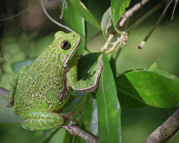 Hyla Wall Art - Photograph - Barking Tree Frog On Branch, Hyla by Maresa Pryor