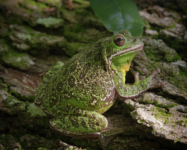 Hyla Wall Art - Photograph - Barking Tree Frog On Live Oak Tree by Maresa Pryor
