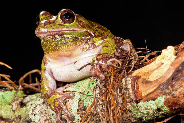 Hyla Wall Art - Photograph - Barking Treefrog Hyla Gratiosa Native by David Northcott
