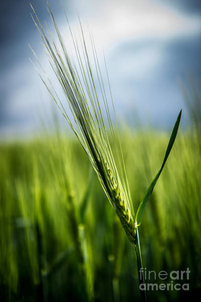 Photograph - Barley by Hannes Cmarits