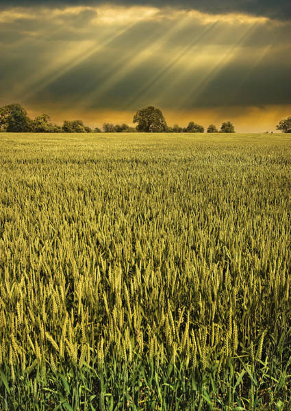 Photograph - Barley With Sunbeams by Meirion Matthias