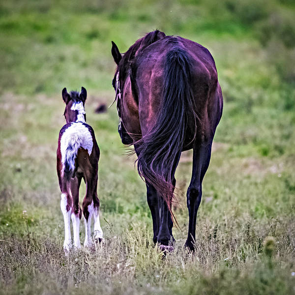 Mare And Foal Photograph - Barn Bound by Paul Freidlund