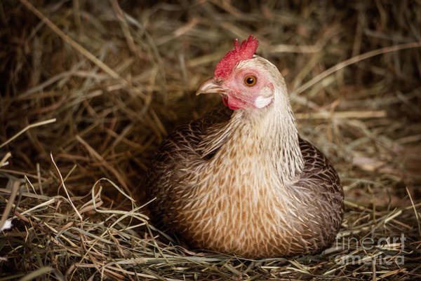 Rooster Photograph - Barn Hen by Edward Fielding