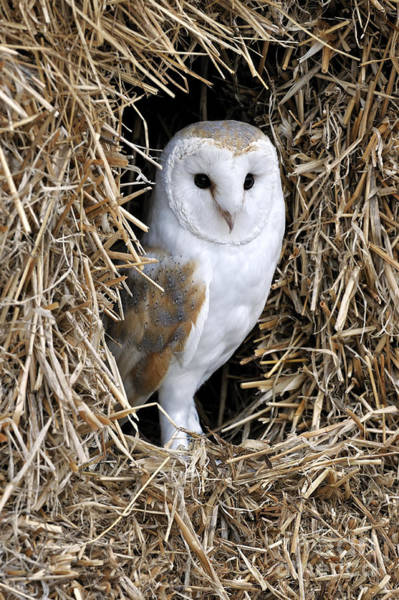 Photograph - Barn Owl 4 by Arterra Picture Library