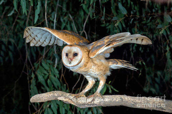 Photograph - Barn Owl About To Fly by Anthony Mercieca