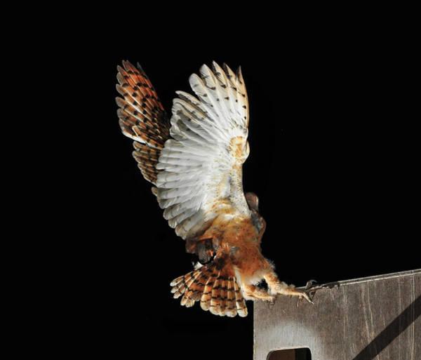 Barn Photograph - Barn Owl by Bill Gracey