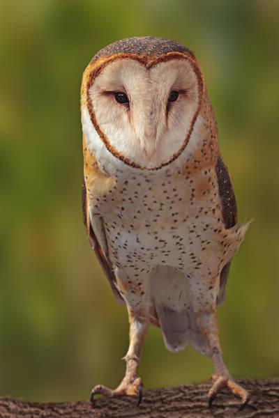 Photograph - Barn Owl  by Brian Cross