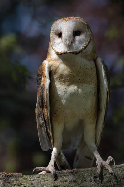 Photograph - Barn Owl by Dale Kincaid