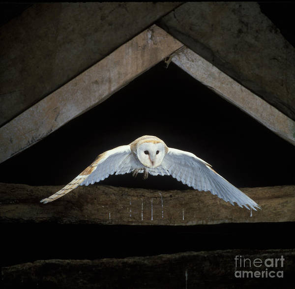 Photograph - Barn Owl by David Hosking