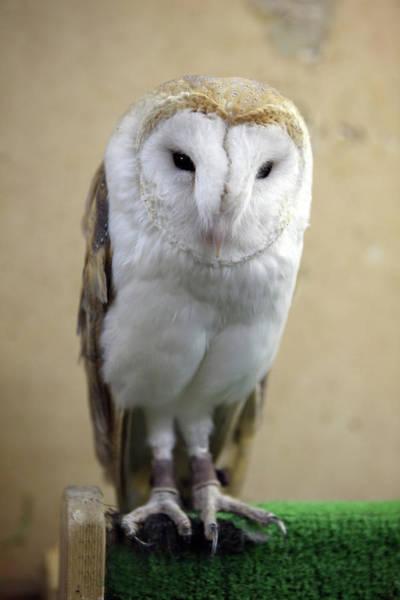 Barn Photograph - Barn Owl by Digipub