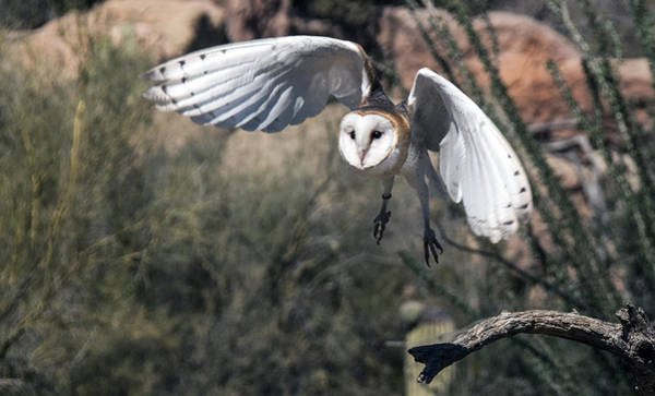 Photograph - Barn Owl Flight by Tam Ryan