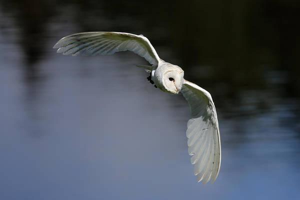 Photograph - Barn Owl by Grant Glendinning