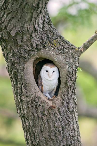 Wall Art - Photograph - Barn Owl In A Tree by John Devries/science Photo Library