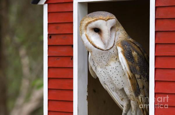 Photograph - Barn Owl by Jill Lang