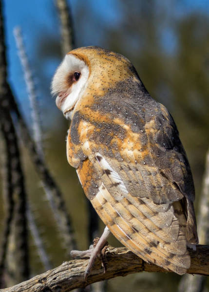 Screech Owl Photograph - Barn Owl by Kathleen Bishop