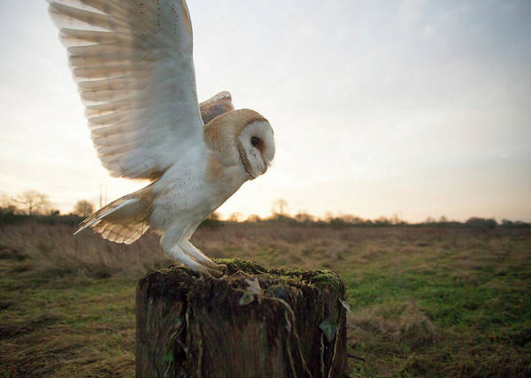 Taking Off Photograph - Barn Owl Landing On Post by Jonathan Lewis