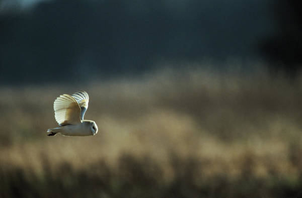Owl In Flight Photograph - Barn Owl by Leslie J Borg/science Photo Library