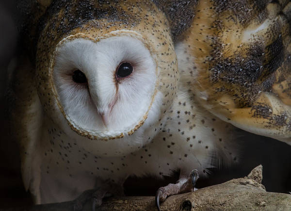 Photograph - Barn Owl by Michael Hubley