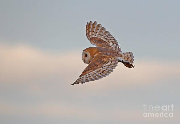Photograph - Barn Owl by Neil Bowman FLPA