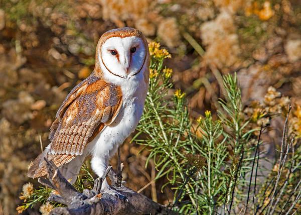Wall Art - Photograph - Barn Owl Perched by Dawn Key