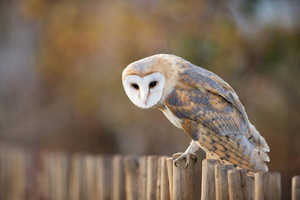 Fence Photograph - Barn Owl Perching On A Fence by Berndt Fischer