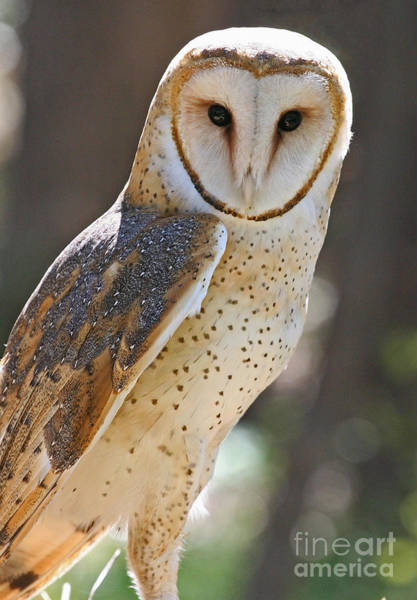 Photograph - Barn Owl Raptor  by Kevin McCarthy
