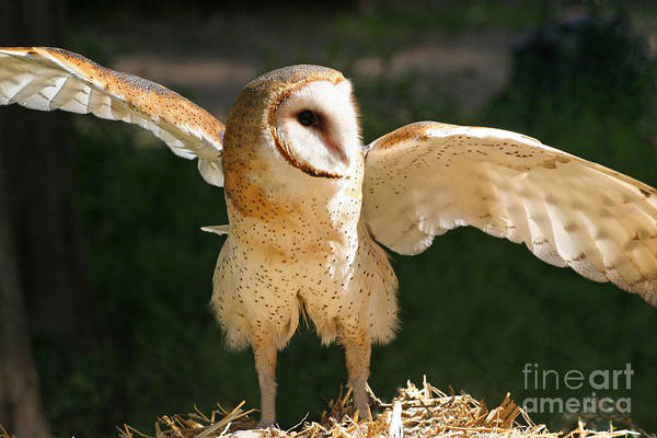 Photograph - Barn Owl Raptor With Wings Spread by Kevin McCarthy