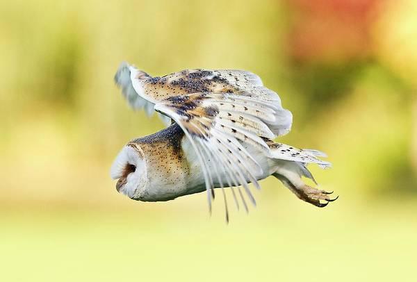 Owl In Flight Photograph - Barn Owl (tyto Alba) In Flight by Linda Wright/science Photo Library