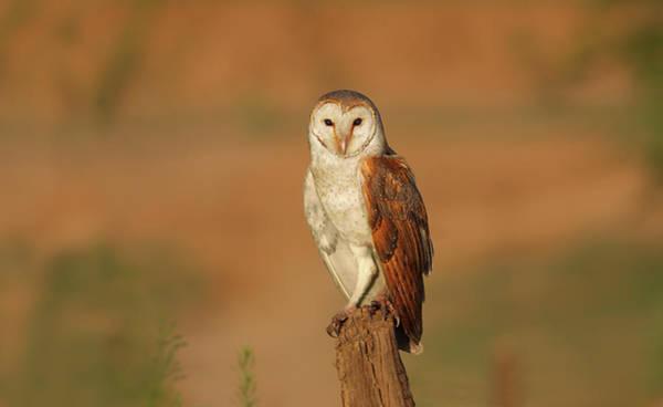 Barn Photograph - Barn Owl by Zahoor Salmi