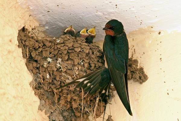Swallow Photograph - Barn Swallow And Hatchlings by Photostock-israel/science Photo Library