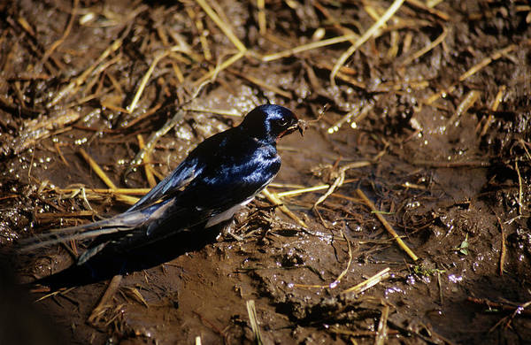 Swallow Photograph - Barn Swallow Collecting Straw by Dan Sams/science Photo Library