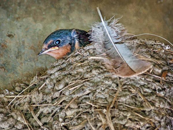 Barn Swallow Wall Art - Photograph - Barn Swallow Fledgling - Baby Bird In Nest by Nikolyn McDonald