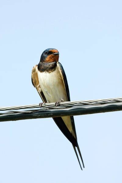 Swallow Photograph - Barn Swallow by John Devries/science Photo Library