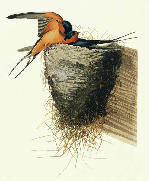Aquatint Photograph - Barn Swallow by Natural History Museum, London/science Photo Library