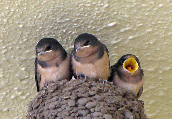 Feed Me Photograph - Barn Swallows 2 by Tikvah's Hope