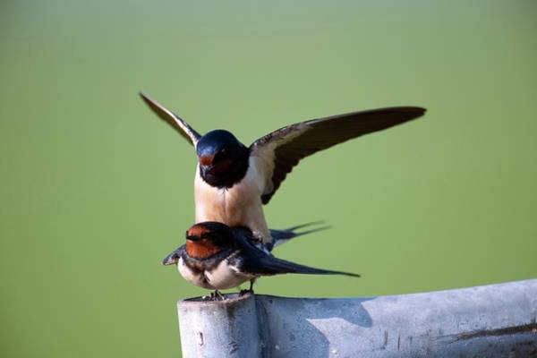 Swallow Photograph - Barn Swallows Mating by Dr P. Marazzi/science Photo Library