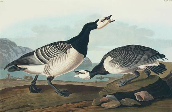 Gander Photograph - Barnacle Goose by Natural History Museum, London/science Photo Library