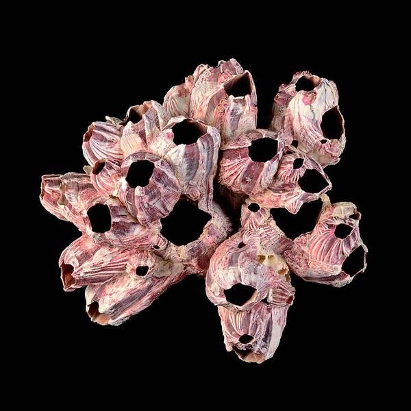 Photograph - Barnacle Shells by Jim Hughes