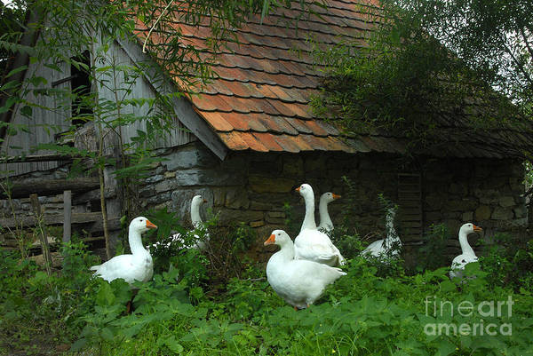 Photograph - Barnyard Geese by Paul W Faust -  Impressions of Light