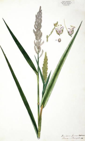 Barnyard Photograph - Barnyard Grass (panicum Frumentaceum) by Natural History Museum, London/science Photo Library