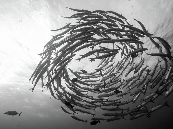 Scuba Diving Wall Art - Photograph - Barracuda Tornado by Yumian Deng