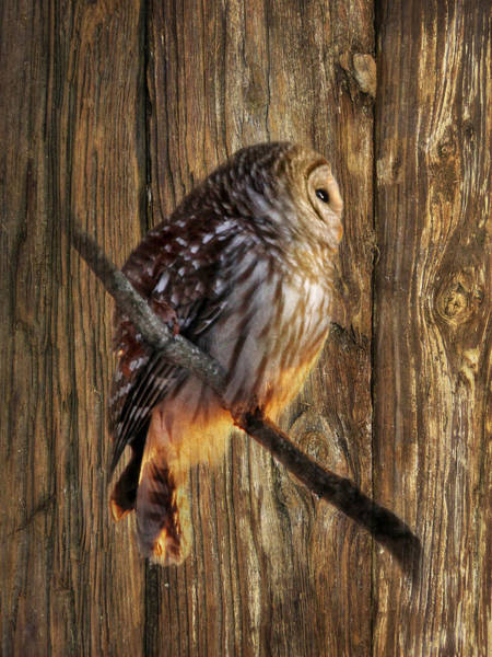 Barred Owl Photograph - Barred Owl 2 by Lori Deiter