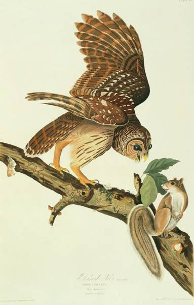 Aquatint Photograph - Barred Owl And Prey by Natural History Museum, London/science Photo Library